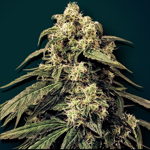 zoes-seeds-fire-furios-auto